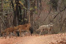 dhole and indian wolf debrigarh odisha conservation india