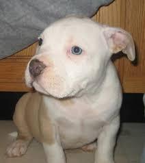american pit bull terrier breed standard american pit bull terrier puppies american pitbull terrier