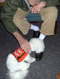 bichon frise therapy dog therapy u2013 bichon frise club of america
