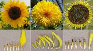 teddy sunflowers genetic clues to gogh s teddy sunflower florets