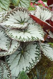 begonia imperialis silver lace ornamental foliage in silver and