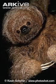4 toed sloth maned three toed sloth photo bradypus torquatus g8417 arkive