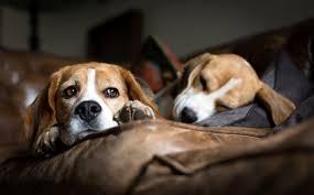 Dogs Sleeping Sofa Beagle Lying Beagles Pictures Dogs Husky For - Lying sofa 2
