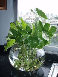 Cascading Indoor Plants by How To Grow Pothos Devil U0027s Ivy In Water Plants Inside Plants