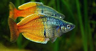 freshwater aquarium fish give cool atmosphere in your house