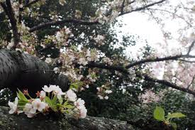 Cherry Blossom Tree Facts by Cherry Blossoms One Less Traveled By