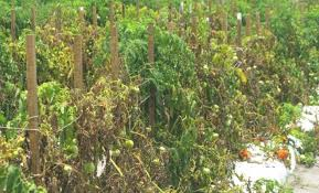 Diseases Of Tomato Plants - fusarium wilt on tomato plants u2013 american tomato growers association