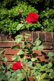 Sunken Gardens Family Membership Rose Garden The Hermitage Museum U0026 Gardens