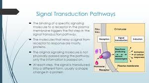 11 3 transduction cascades of molecular interactions relay