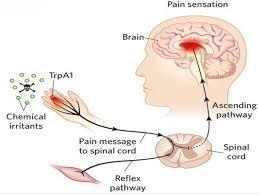 Pain Reflex Pathway Pain Sensation 6 638 Jpg Cb U003d1453900966