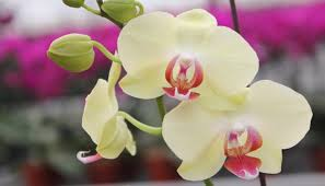 phalaenopsis orchids moth orchids shade loving house plants with