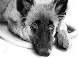 belgian shepherd black pencilsketch of a belgian shepherd stock photo picture and