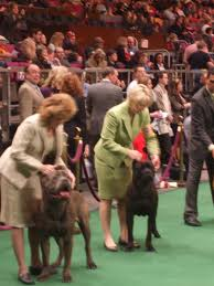westminster bluetick coonhound 2016 li dogs at westminster lipetplace