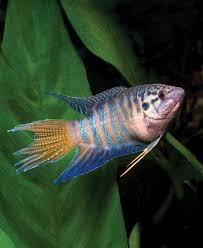 adding color to the freshwater aquarium singin the blues