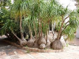 pony tail palm beaucarnea recurvata great clump indoor outdoor