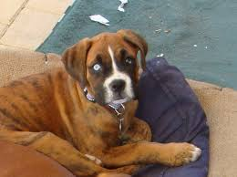 boxer dog breeders near me blue eye on a brindle boxer can you enlighten me please boxer