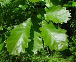 White Oak Leaf Quercus Bicolor Swamp White Oak Go Botany