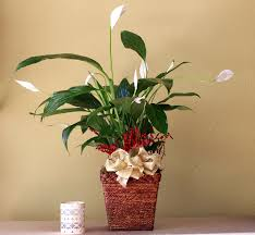 Peace Lily Plant Peace Lily Plant In Montebello Ca Amore Dolce Flowers