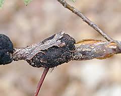 black knot of ornamental cherry and plum the morton arboretum
