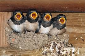 Barn Swallow Eggs Barn Swallow Hirundo Rustica