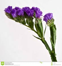 statice flowers statice flower stock images image 17738854