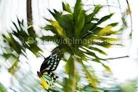 australian butterflies photos pictures u0026 images