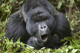 Gorilla by Wild Gorillas Compose Happy Songs That They Hum During Meals New