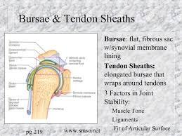 Tendon Synovial Sheath Bones Joints Muscles