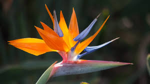 bird of paradise flower most beautiful bird of paradise flower