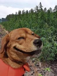 Stoned Dogs Meme - stoned dog face