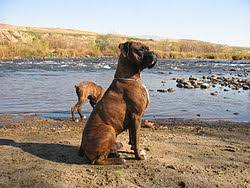 boxer dog with tail boxer dog wikipedia