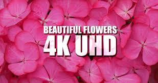 Beautiful Flowers Beautiful Flowers 4k Uhd Ultra Hd 4k Resolution Digital