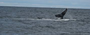 file a whale off the shore of cape cod massachusetts jpg