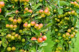 crab apples rhs caign for school gardening