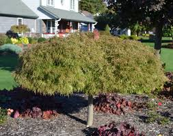 how to grow and trim japanese maples