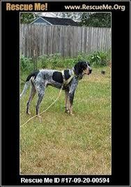 bluetick coonhound in michigan michigan bluetick coonhound rescue u2015 adoptions u2015 rescueme org