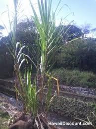 45 best sugar cane images on pinterest sugar beautiful scenery