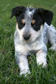 6 week old mini australian shepherd 6 week old blue heeler puppy dog stock photo picture and royalty