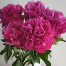 pianese flowers peony care and handling flower muse