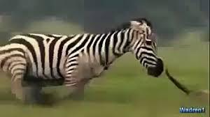 lion attack zebra animal planet 2015 wildlife documentary