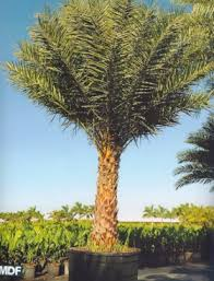sylvester palm tree price products manuel diaz farms