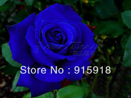 blue roses for sale 2018 now buy one get one free get 400seeds blue
