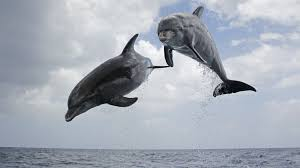 dolphins spy in the pod about nature pbs
