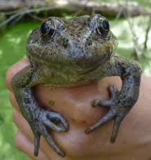 for the first time in almost 100 years a rare frog population is