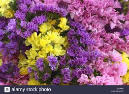 statice flowers pink purple yellow statice flowers limonium background stock