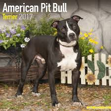 american pitbull terrier doberman mix american pit bull terrier calendar 2017 dog breed calendars