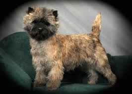 brindle cairn haircut meet the cairn terrier cairn terrier club of america