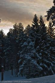 snowy pine trees wallpaper for iphone 4