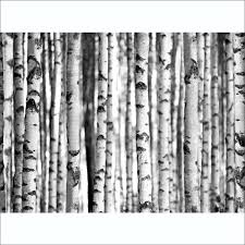 and white birch trees wall mural 315cm x 232cm black and white birch trees wall mural 315cm x 232cm