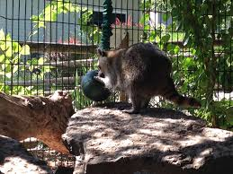 our raccoons aren u0027t just any raccoons seneca park zoo